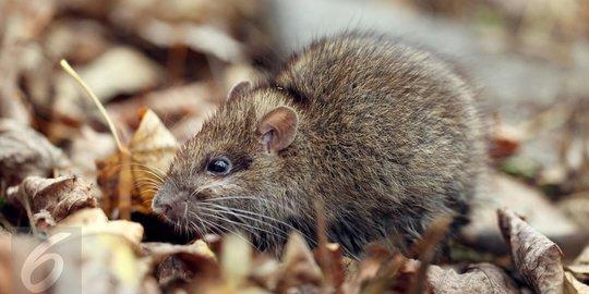Waspadai Rumah Dari Ancaman Tikus Penyebab Hantavirus